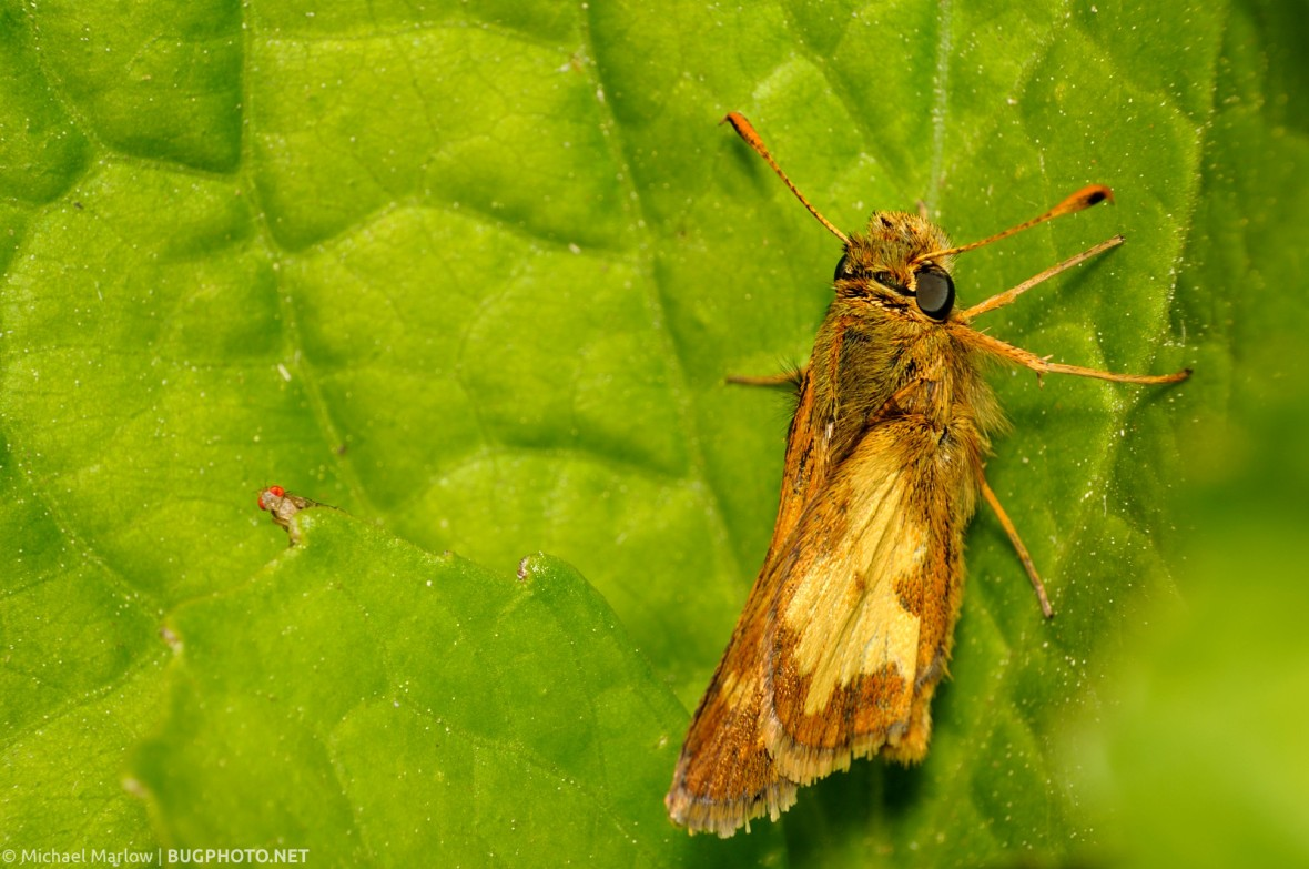 skipper at rest with small fly peeking over a leaf
