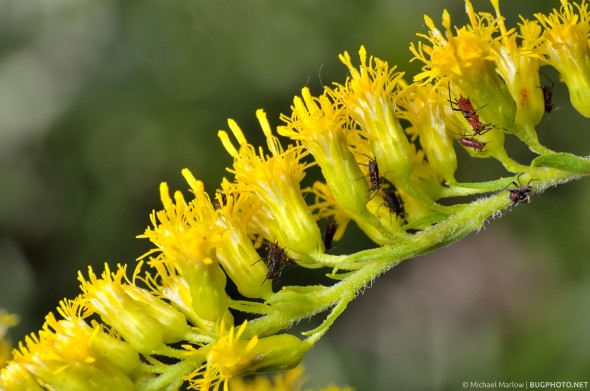 aphids feeding on a stem of goldenrod flowers