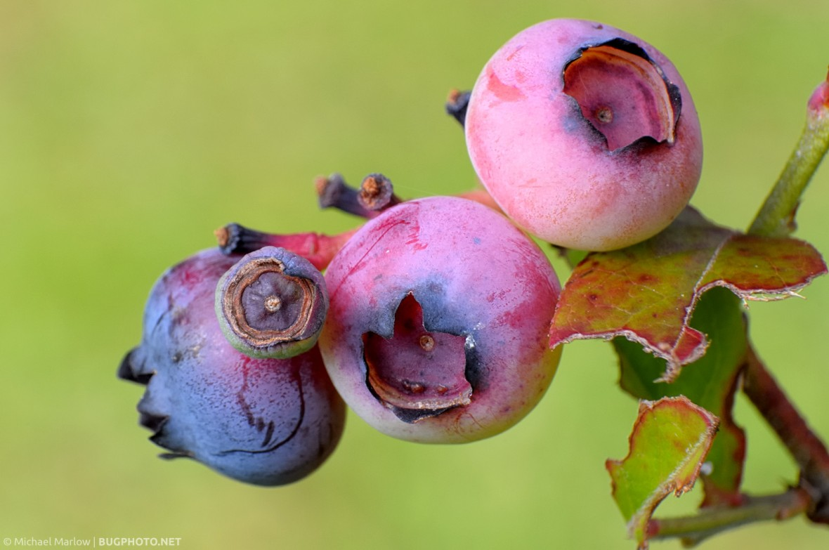 unripe pink and purple blueberries