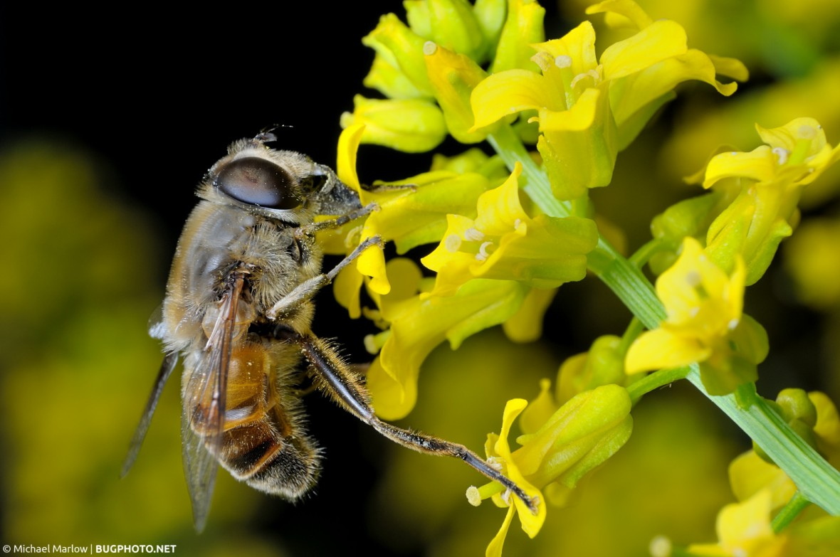 drone fly feeding on a stem of yellow flowers