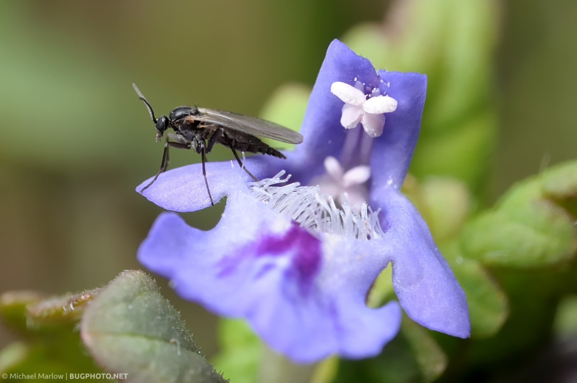 fungus gnat standing on a small purple wildflower
