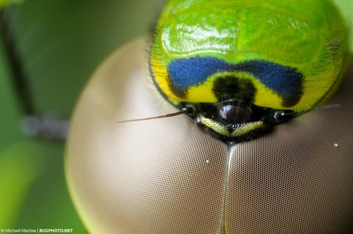 super close of green darner dragonfly head