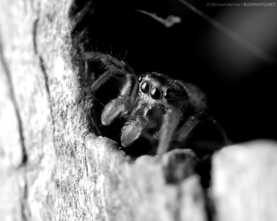 jumping spider looks out from a dark space in a wooden fence post in black and white