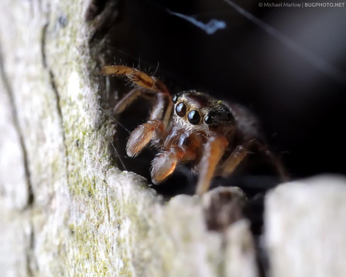jumping spider looks out from a dark space in a wooden fence post