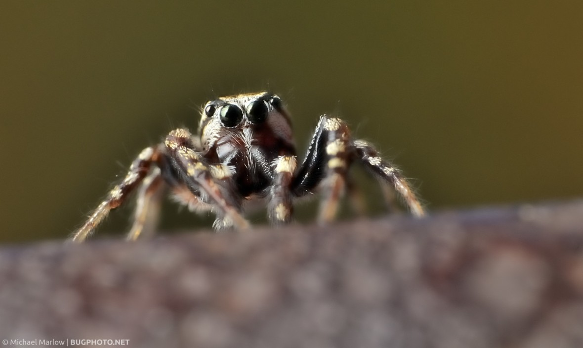 front-facing jumping spider on rusty hand rail