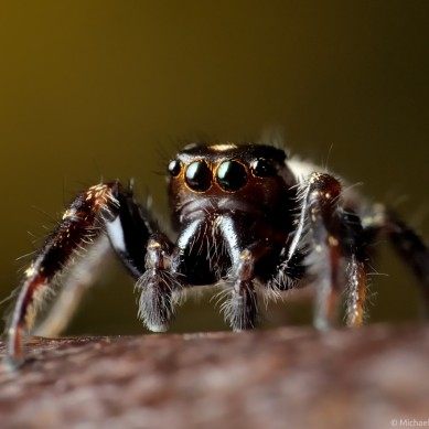 jumping spider with orange-ringed eyes on rusty surface