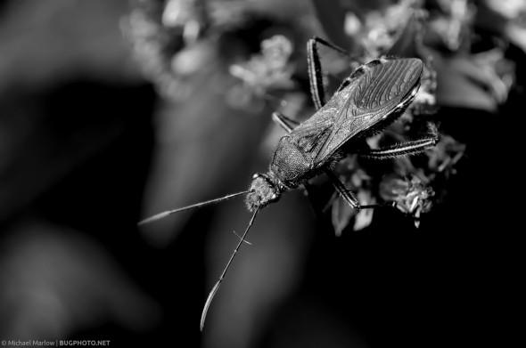 a mostly black broad-headed bug hanging over a plant stem