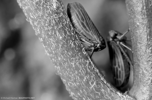 black and white of two leafhoppers in crux of plant stems
