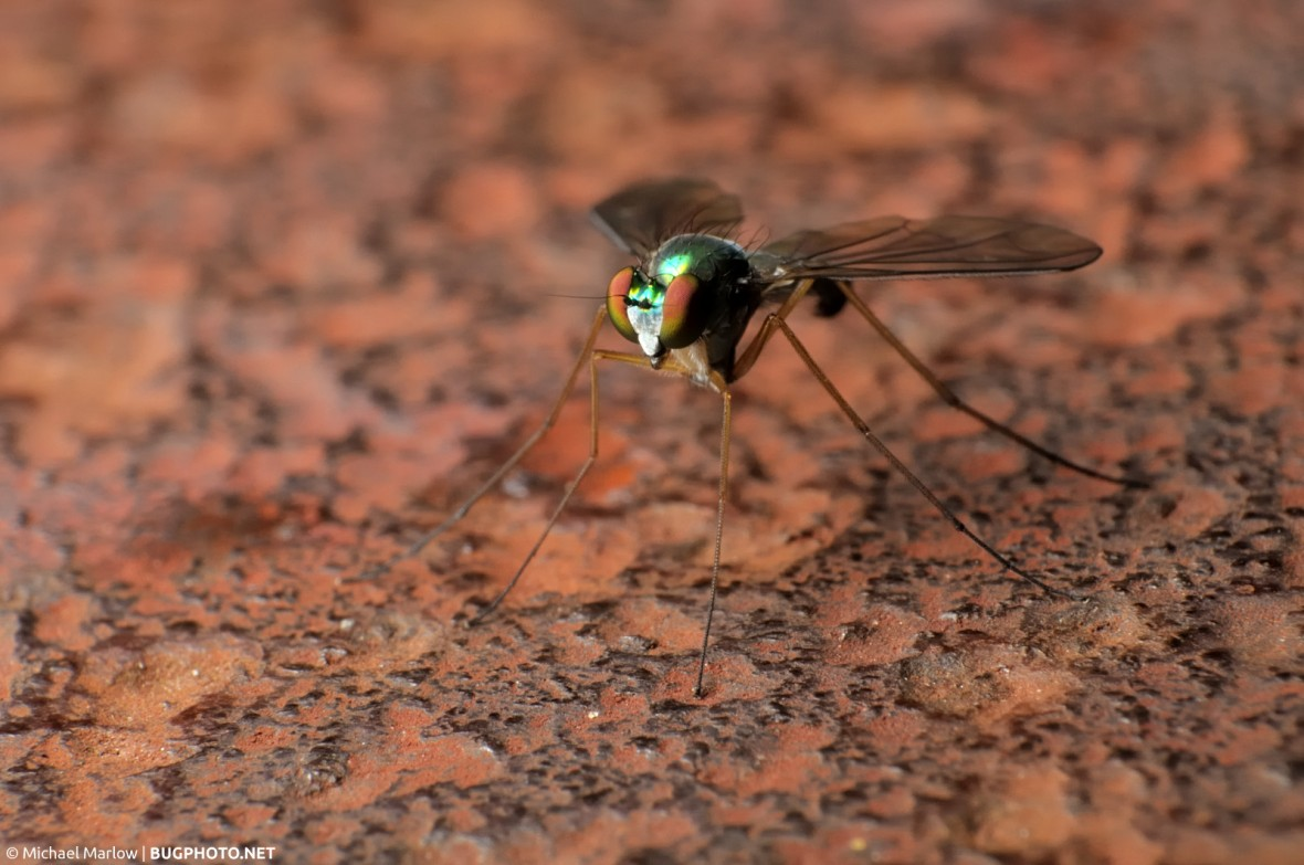 long-legged fly on rusty surface