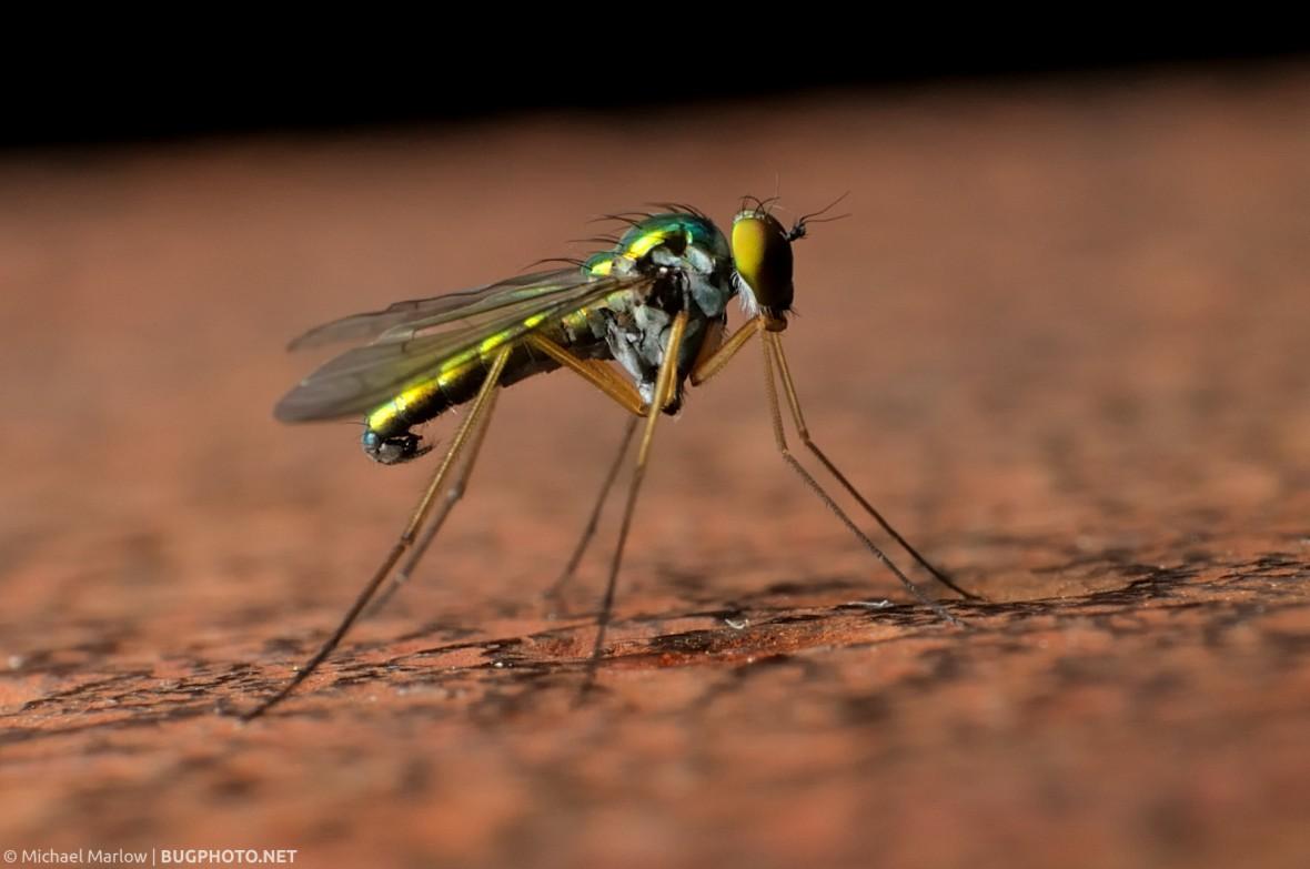 longlegged fly on corroded iron