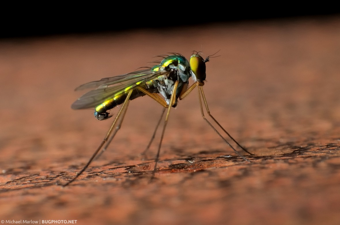longlegged fly on corroded iron