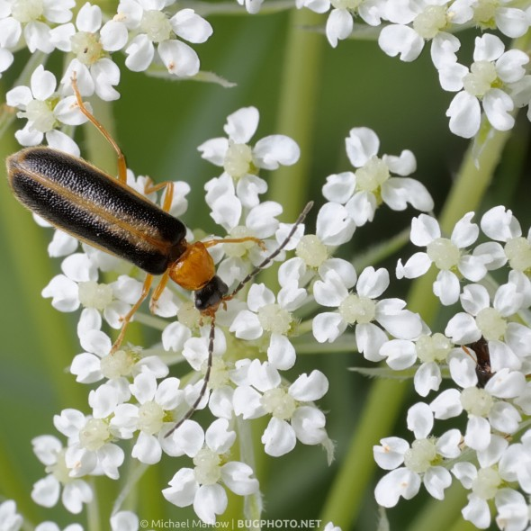 soldier beetle on white blossoms of queen anne's lace
