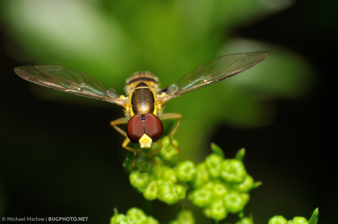 syrphid fly perched on parsley buds