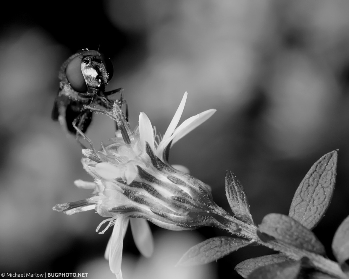 syrphid fly feeding on a wild flower in black and white