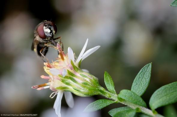 syrphid fly feeding on a wild flower