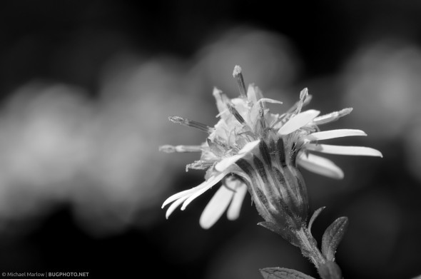 monochrome close up of small white-petaled wildflower