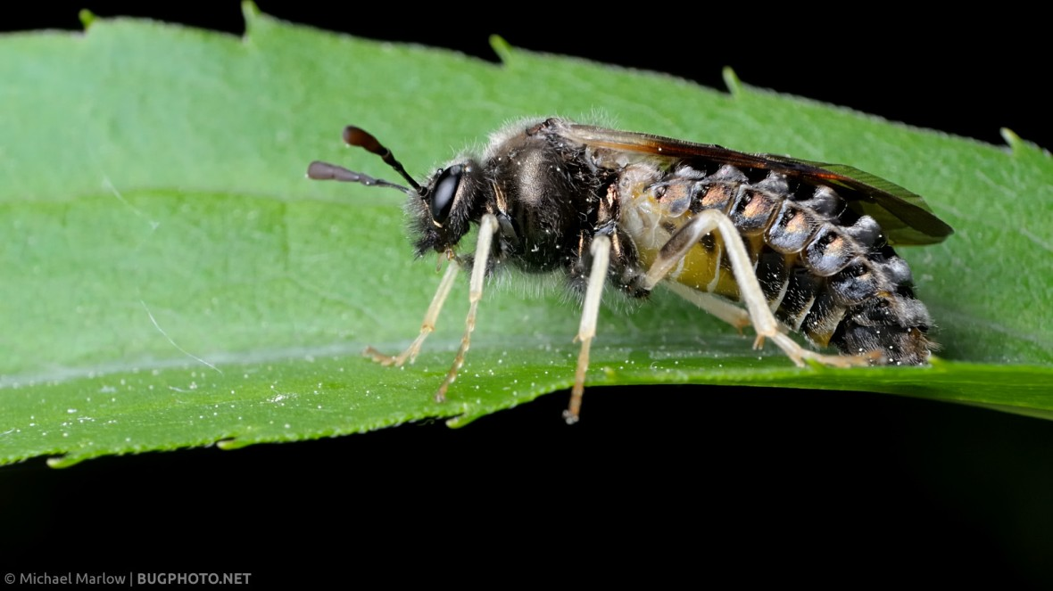 Abia sawfly on a leaf