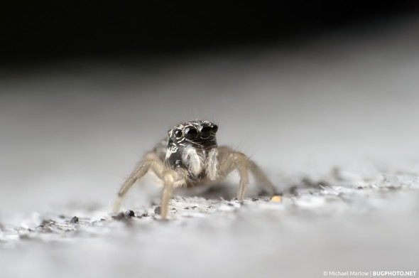 baby jumping spider