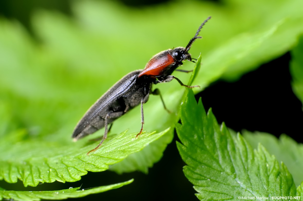 click beetle with red pronotum and black elytra standing on leaves