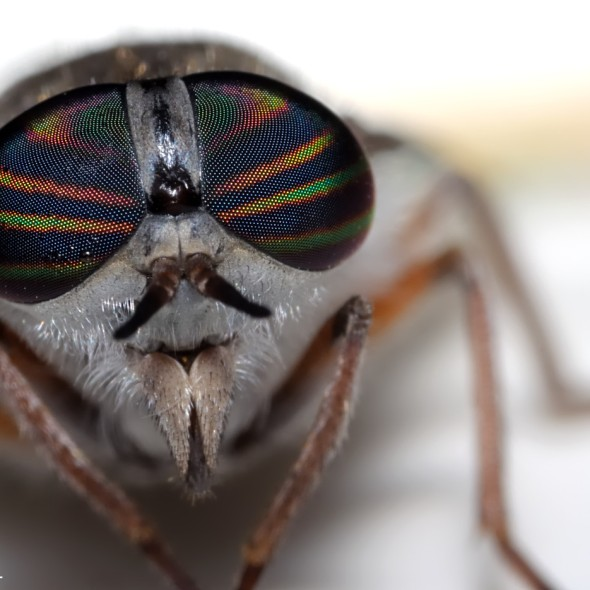 portrait of horse fly with striped colorful eyes