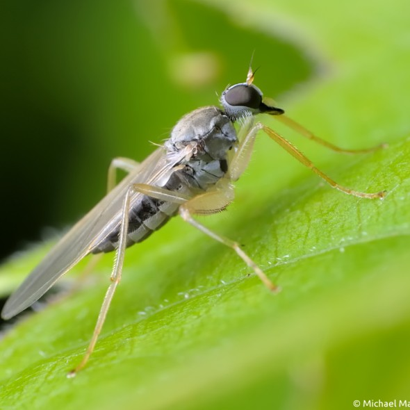 hybotid dance fly