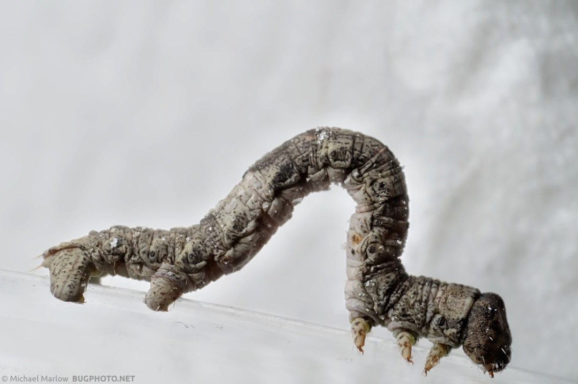 inchworm caterpillar with white napkin backdrop