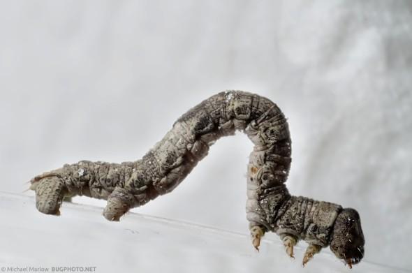 inchworm caterpillar on paper towel