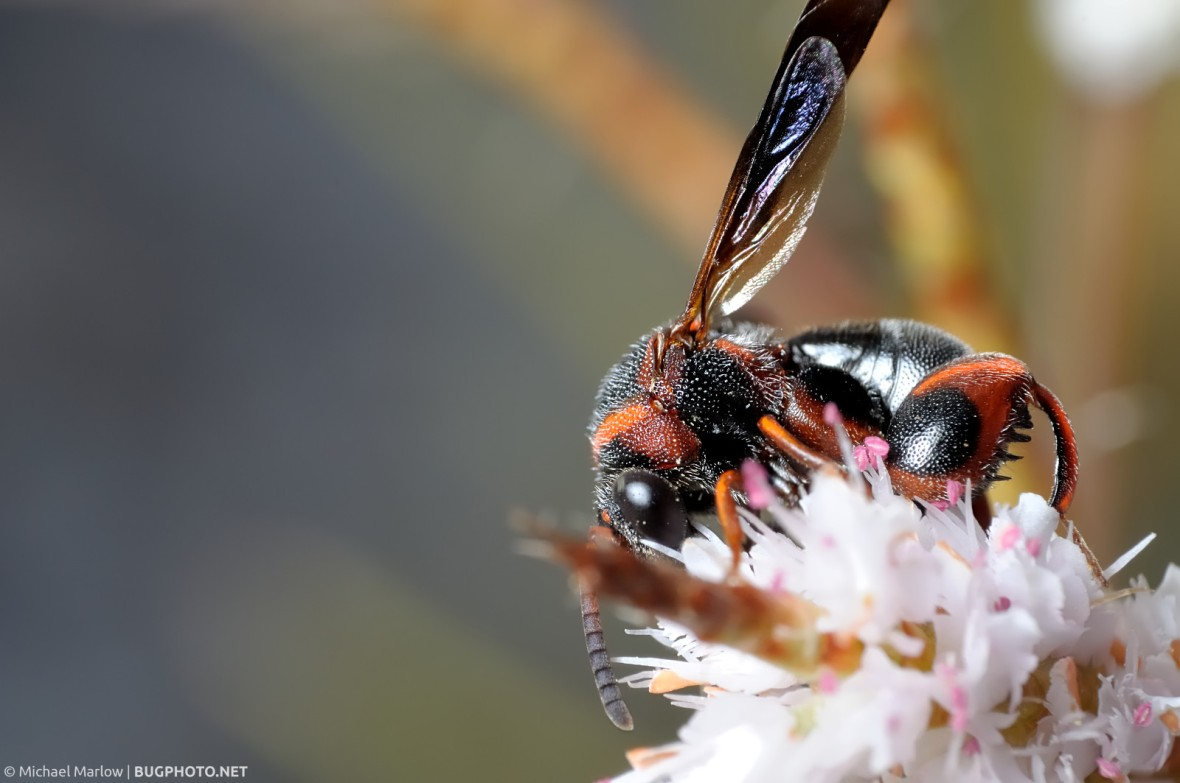 red and black leucospid wasp feeding on a flower.