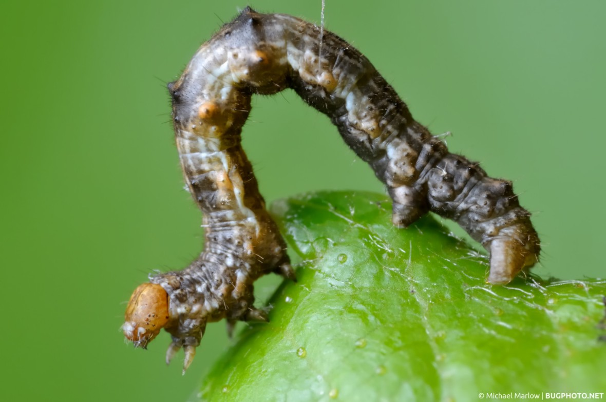 looper caterpillar on birch leaf
