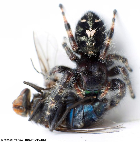 Phidippus audax jumping spider with blow fly prey.