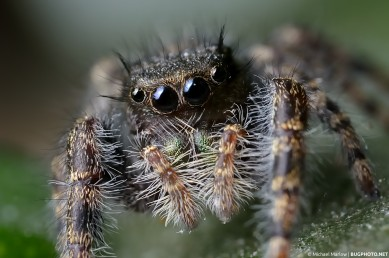 close up portrait of hairy phidippus audax jumping spider