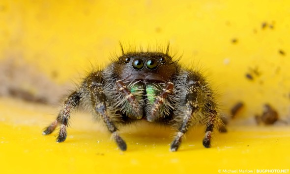 Phidippus audax jumping spider on bright yellow plastic of plant pot