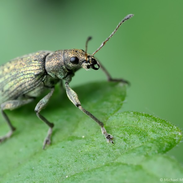 metallic green weevil standing at the edge of a leaf