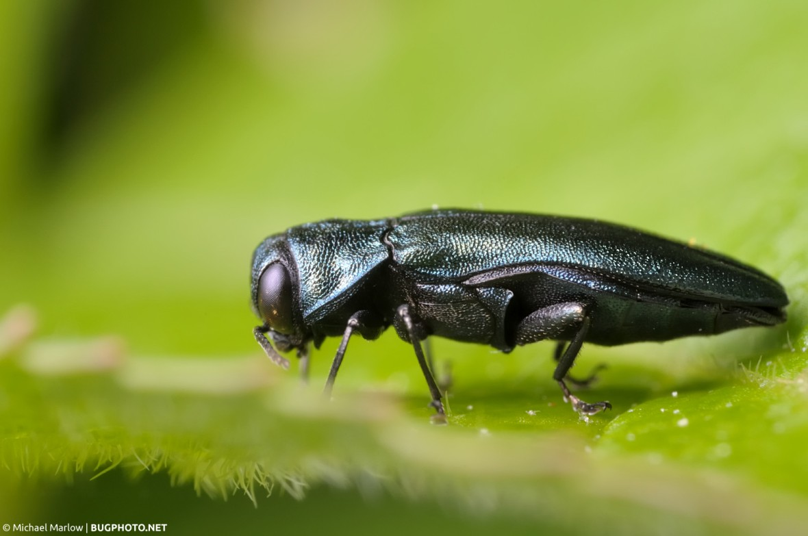 agrilus cyanescens jewel beetle in profile