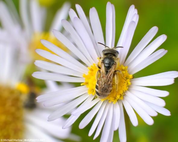 bee feeding on a wild flower