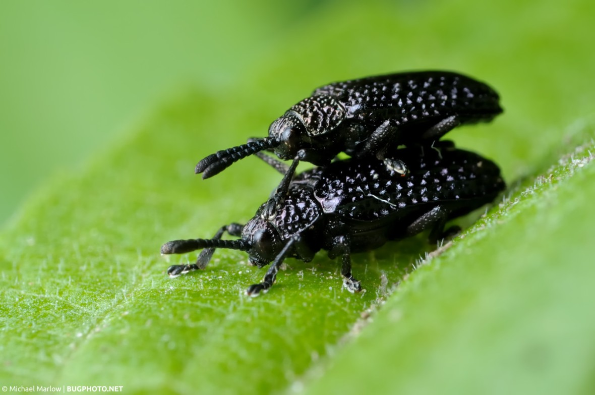 black beetles mating