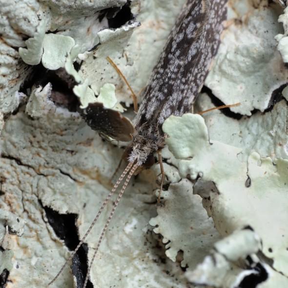 caddisfly on light green lichen