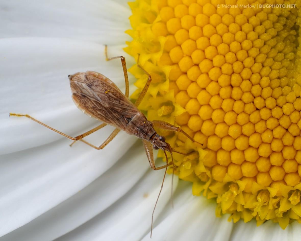damsel bug feeding on white-petaled yellow center flower
