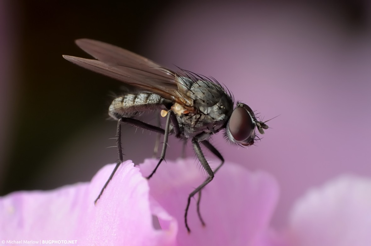 fly on the petals of pink rhododendron flower