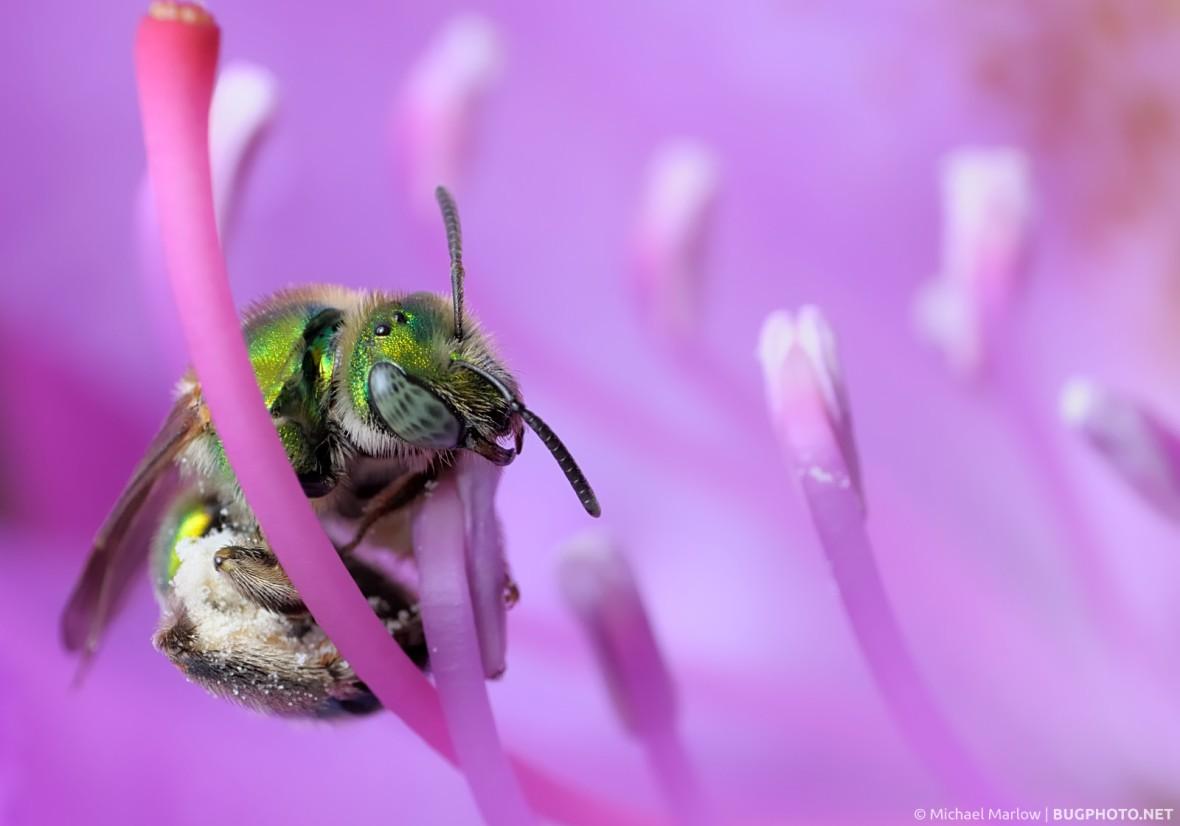 metallic green bee feeding on pink rhododendron flower