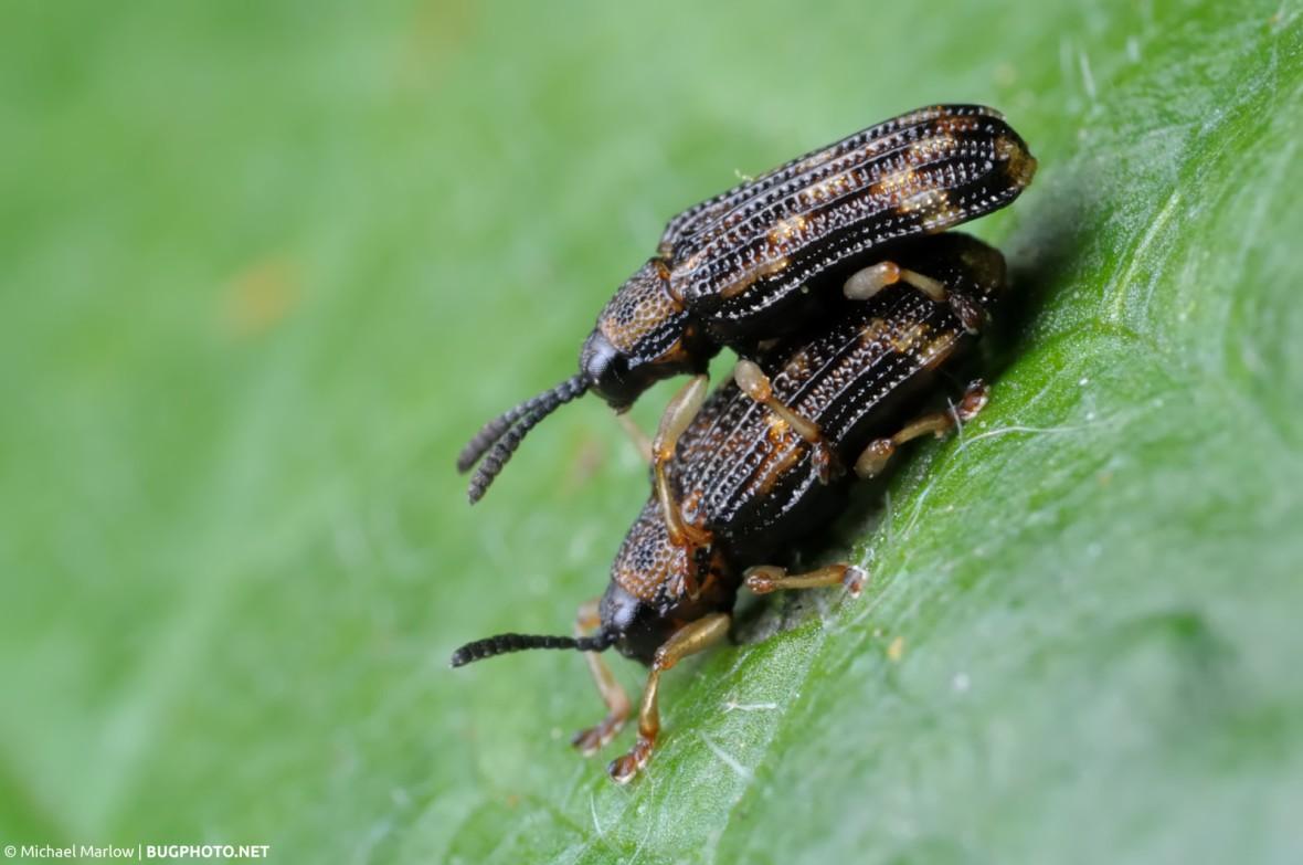 mating hespine beetles