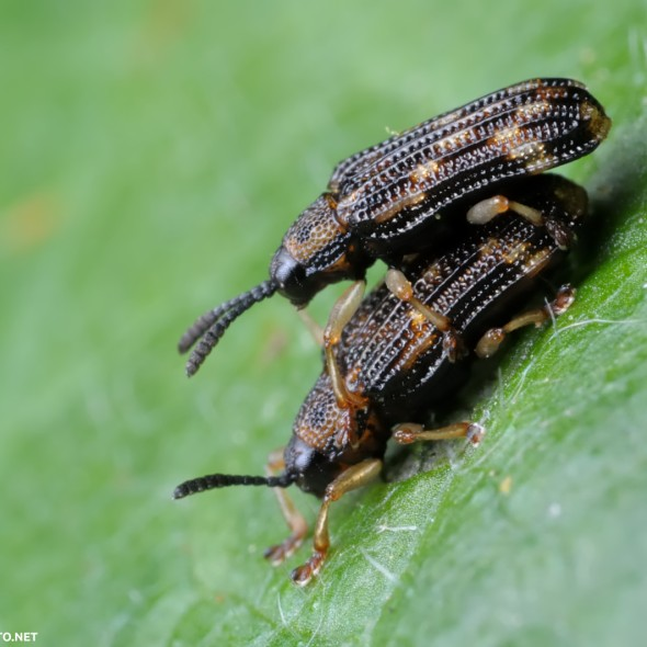 mating hespine beetles