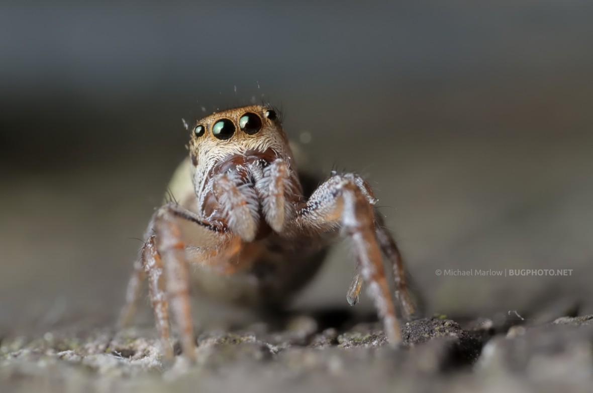 jumping spider with orange band around eyes