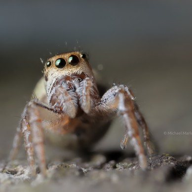 jumping spider with orange band around eyes