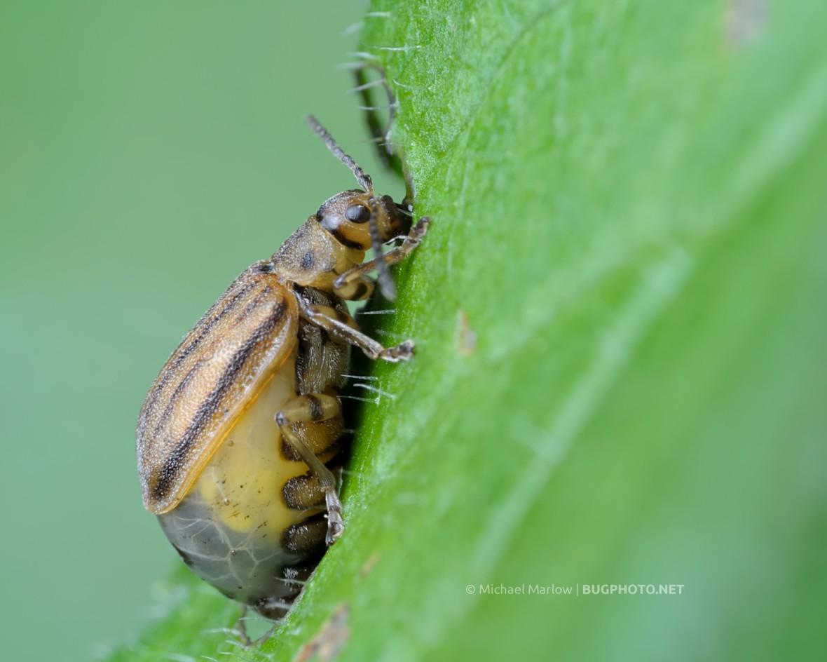 gravid female leaf beetle Ophraella