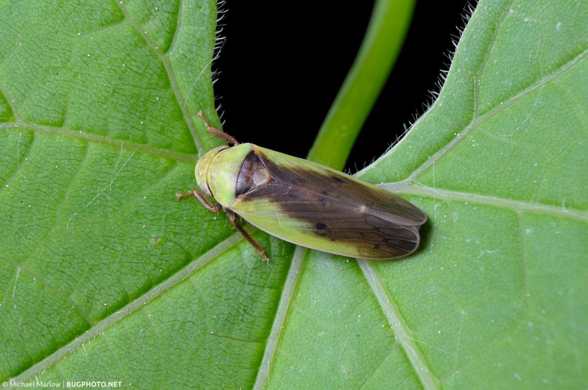 brown and green leafhopper on heavy-veined leaf