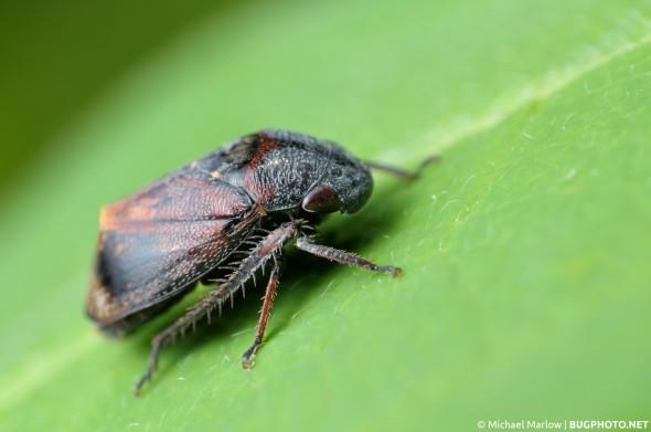 leafhopper Penthimia americana at rest on a leaf