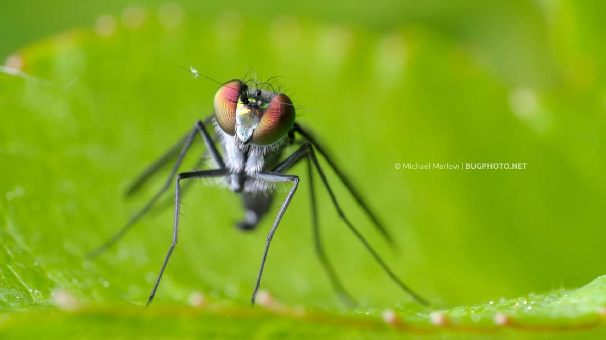 portrait of a long-legged fly