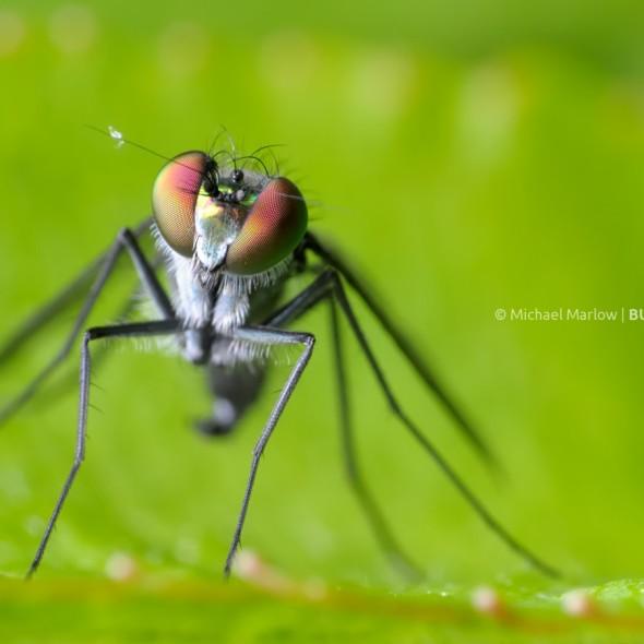 portrait of a long-legged fly