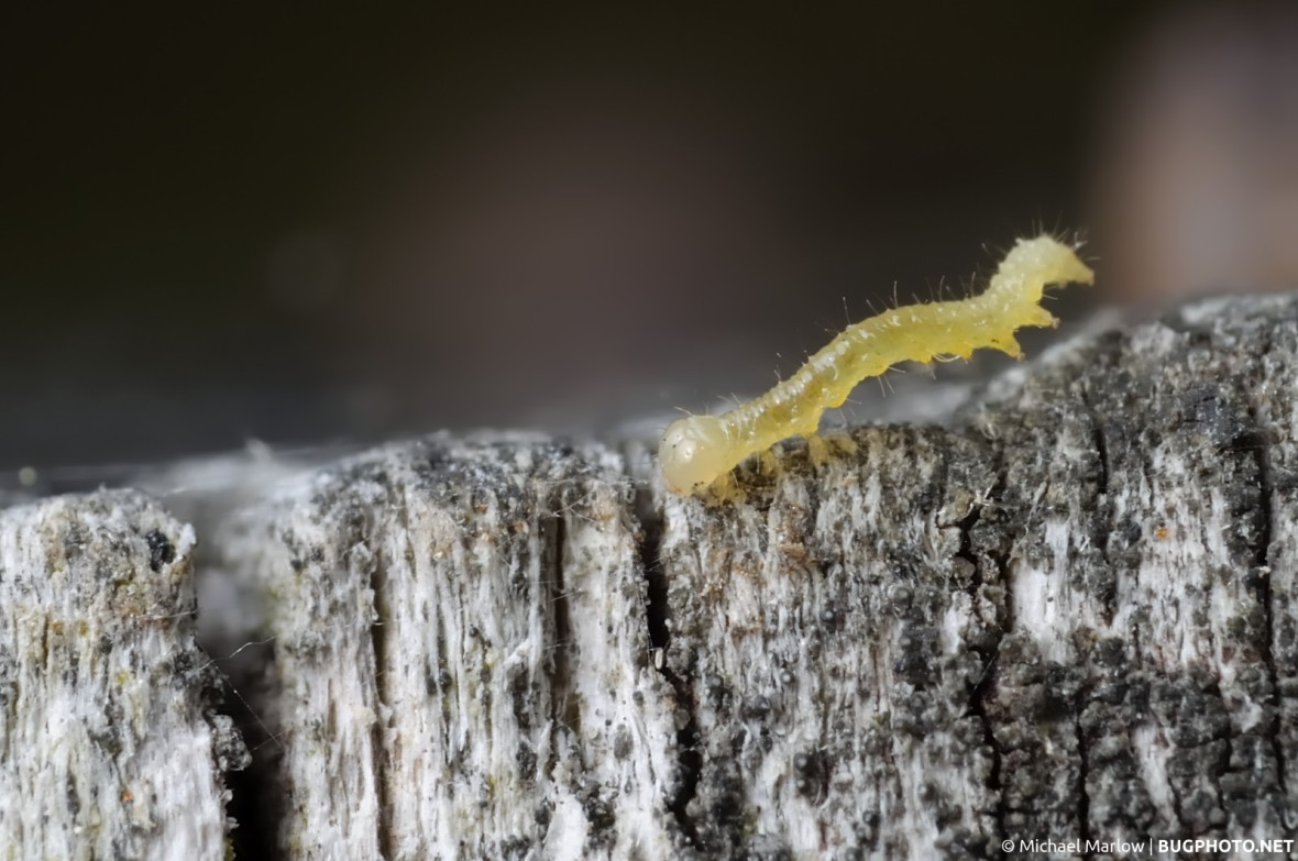 small looper caterpillar on mildew covered wood